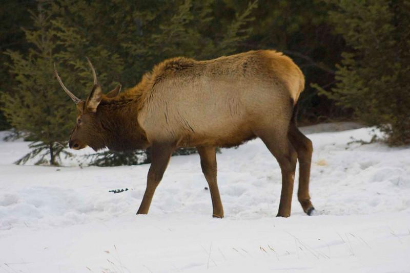 Elk on Tunnel Mountain, Banff
