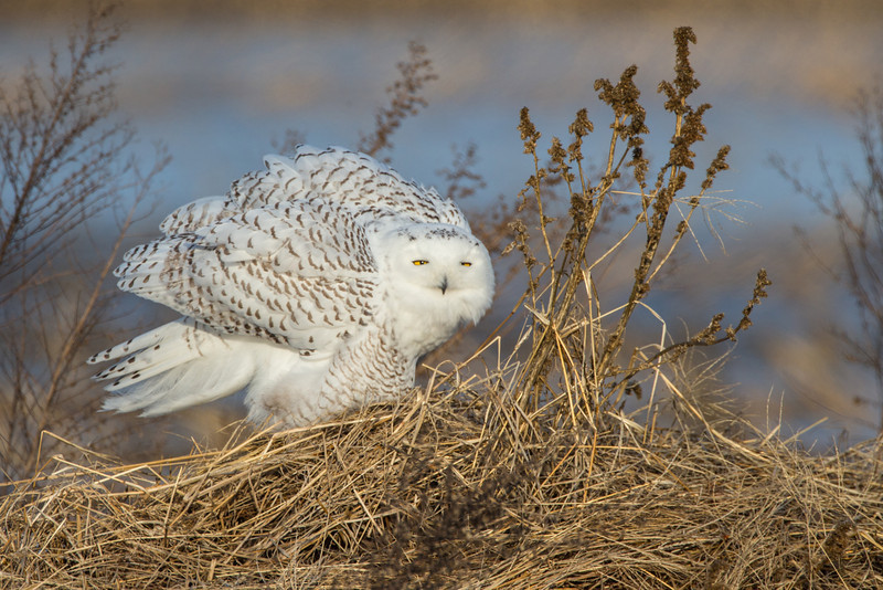 Snowy Owl, Deerfield, Jan. 15, 2014