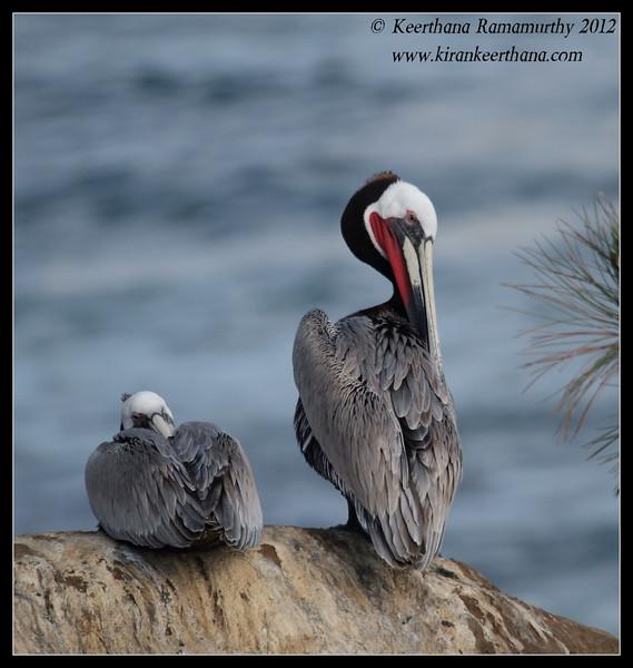 Brown Pelican preening, La Jolla Cove, San Diego County, California, April 2012