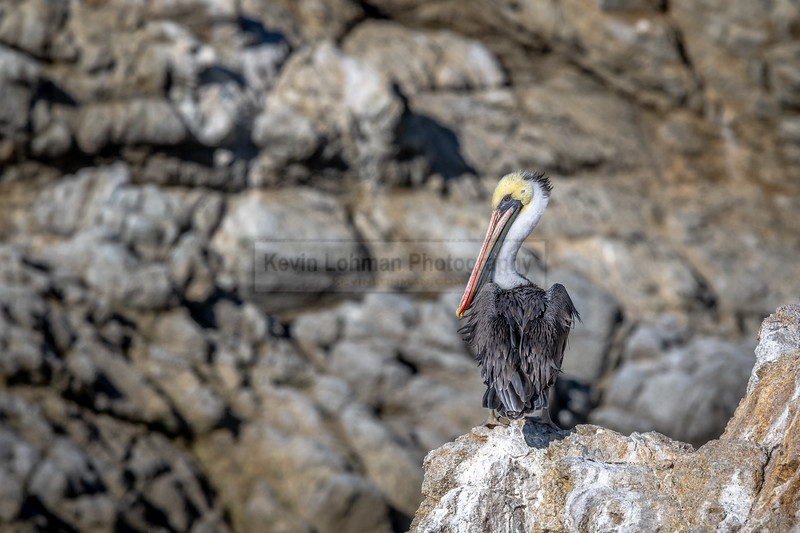 Pelican on a Cliff