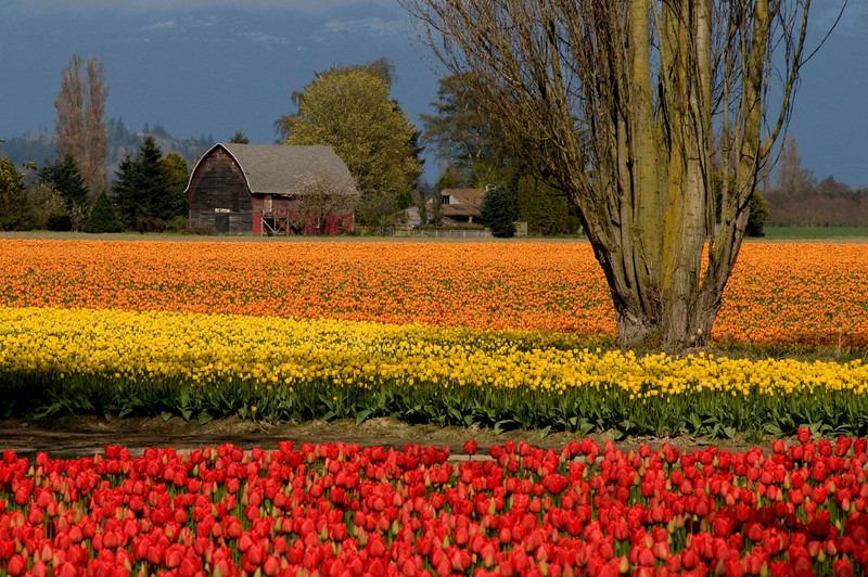 skagit_valley_tulips_2008_300_06186_tri-colored_fields-sm.jpg