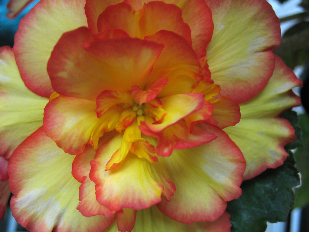 . BEGONIA: Their beautiful foliage can be bronze, red or deep green. (Rebecca Jepsen/Contributed)
