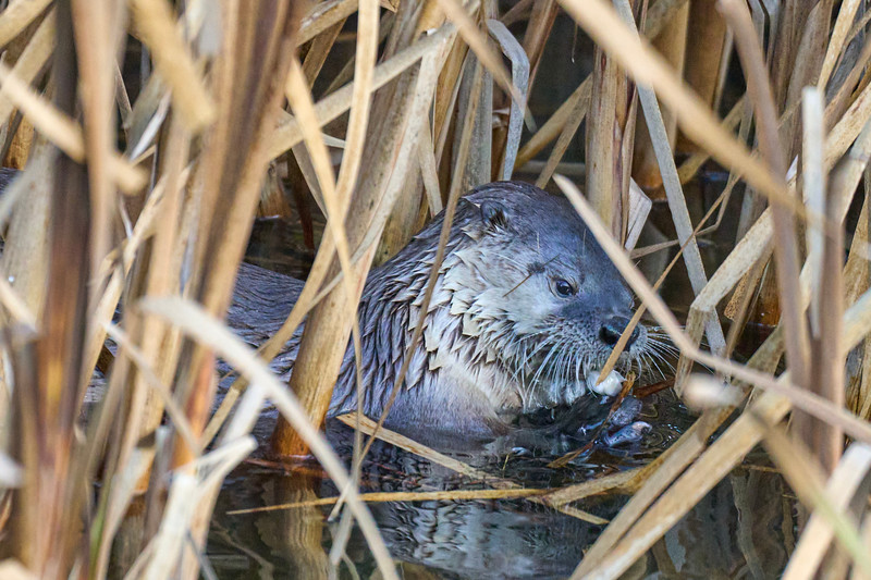 River Otter at Point Reyes