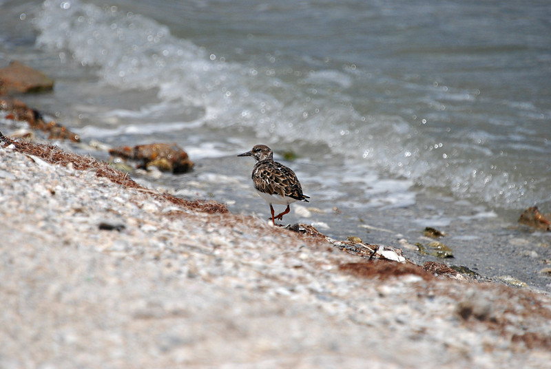 Ruddy Turnstone, TX