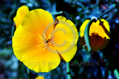 California Poppy Flower Pictures