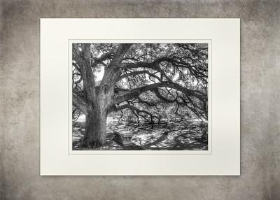 Century Oak - $15