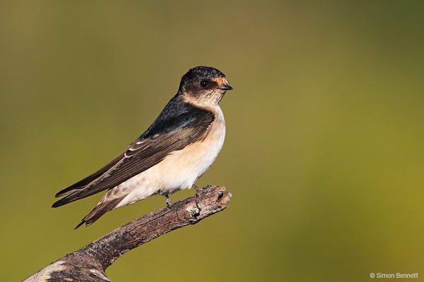 Swallows and Martins