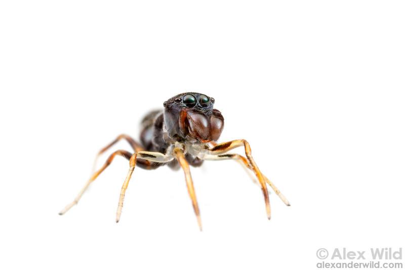 Jumping spider (Salticidae)  Kibale forest, Uganda