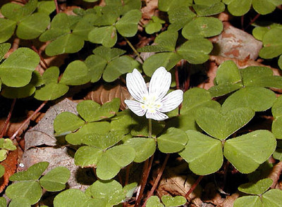Wood sorrel along the Big Laurel Falls Trail 