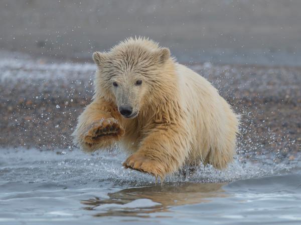 Kaktovik Polar Bears 2017