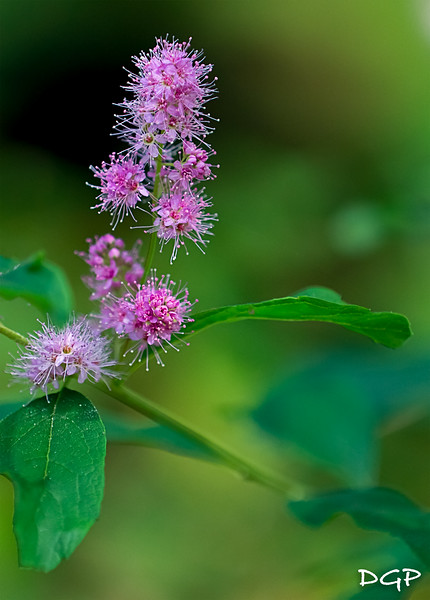 Wildflower from the Northwest