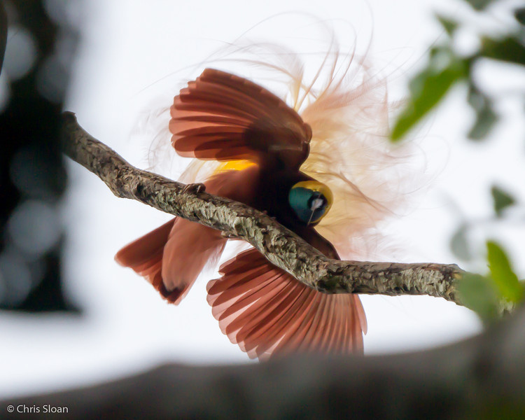 Greater Bird-of-Paradise at KM 17 near Kiunga, Papua New Guinea (10-10-2013) 016-159.jpg