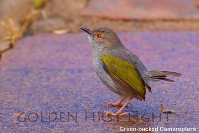 Green-backed Camaroptera, Kenya