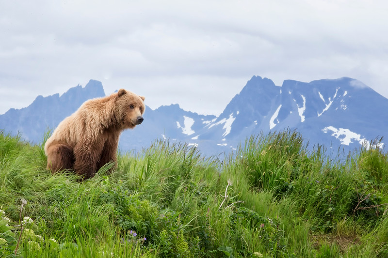 Alaskan Grizzly Waits