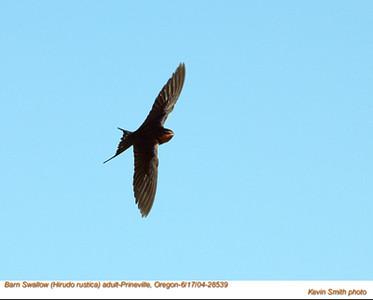 BarnSwallow28539.jpg