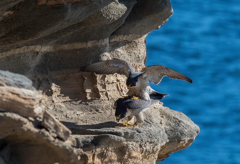 Falcons mating5.jpg