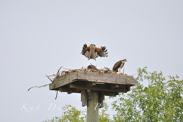 Osprey Babies Are Flying!