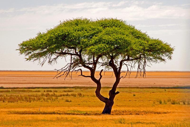 Lone Tree, Namibia, Africa