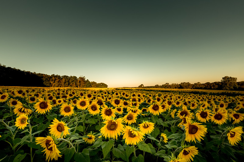 Mike Maney_Sunflowers-76-Edit.jpg