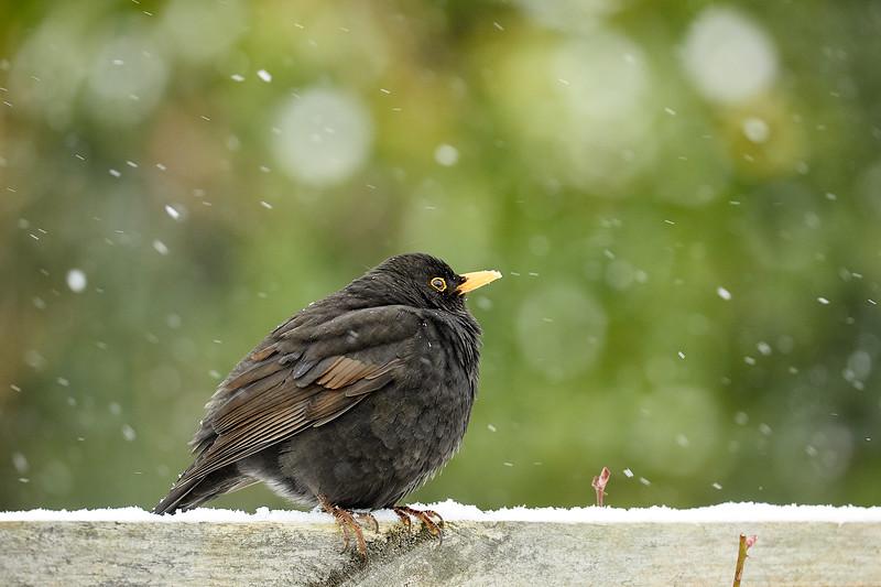 Day 60 - Garden Birds-4408.jpg