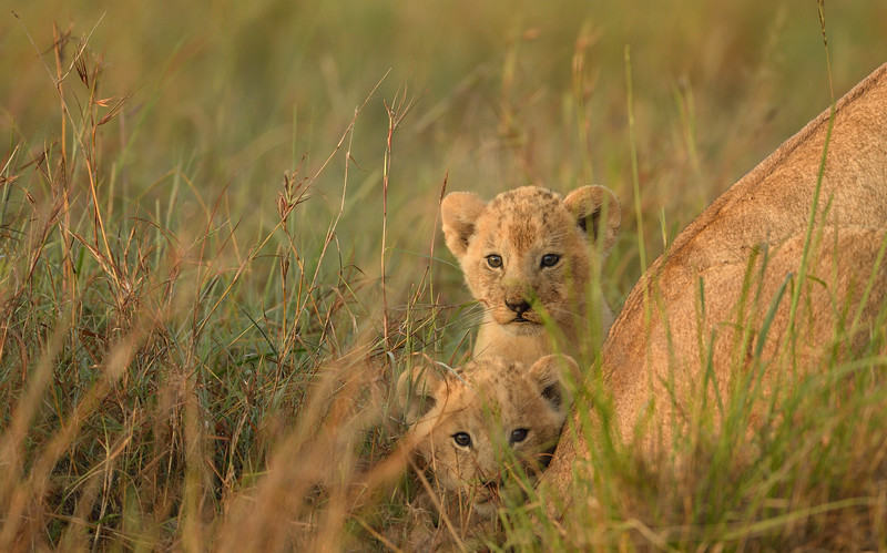 Peeping-from-behind-mothers-back-masaimara.jpg