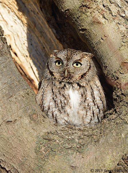 Eastern Screech Owl, Megascops asio