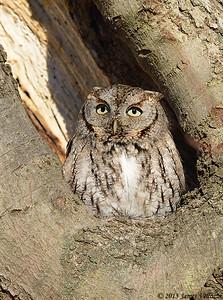 Eastern Screech-Owl, Otus asio