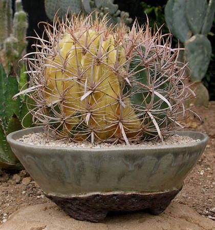 Ferocactus Acanthodes Variegate