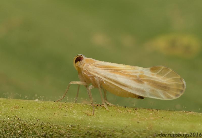 Derbid planthopper (Fulgoroidea: Derbidae) from Belize.
