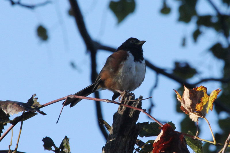 October 13, 2012 - (Shenandoah National Park [Dickey Ridge visitor center parking lot] / Front Royal, Warren County, Virginia) -- Eastern Towhee