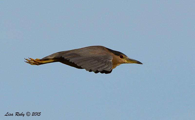 Black-crowned Night Heron - 2/1/2015 - Poway Pond