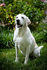 This beautiful yellow lab was photographed at our client's home.  Ranson Photography specializes in pet portrait photography and will travel to your home or any desired location for your pet portrait session.  We also welcome you to bring your pets to our Richmond photography studio.  We offer flexible pricing packages so we can meet the exact needs of our clients.