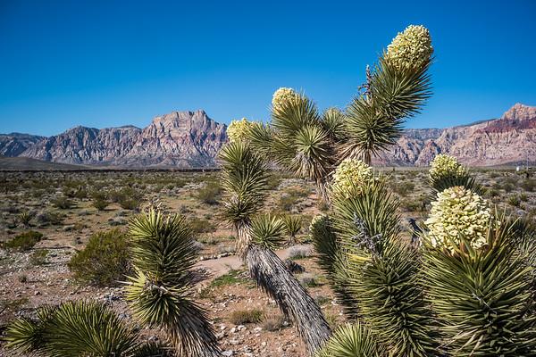 Flowering Yucca (Joshua Tree) 2019 Red Rock