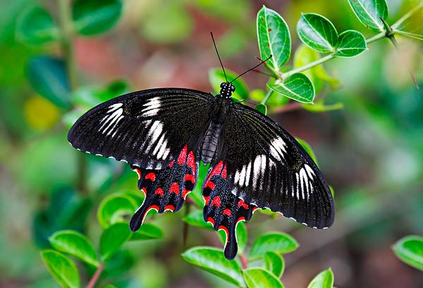 Papilio Hector / Парусник Гектор