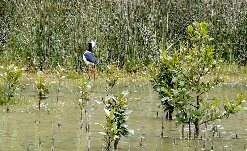 5White-headedStilt745 Nov. 21, 2009  12:51 pm.  P1050745 White-headed Stilt, H. leucocephalus, seen in about half our day trips