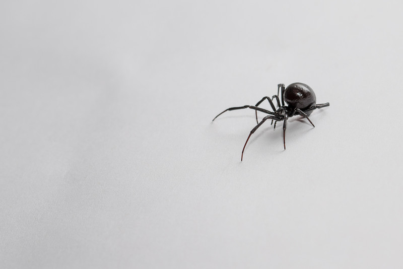 6.4.14 - Southern Black Widow Spider (Latrodectus mactans)