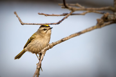Kinglets Goldcrests
