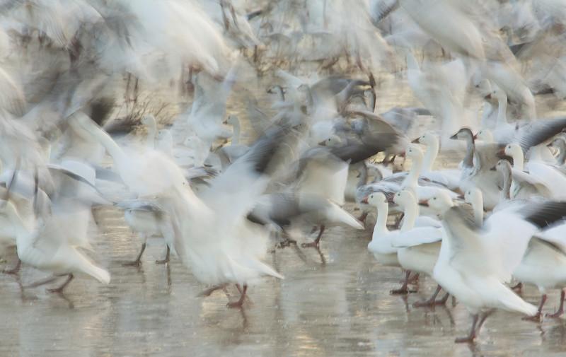 Snow Geese on Pond.jpg