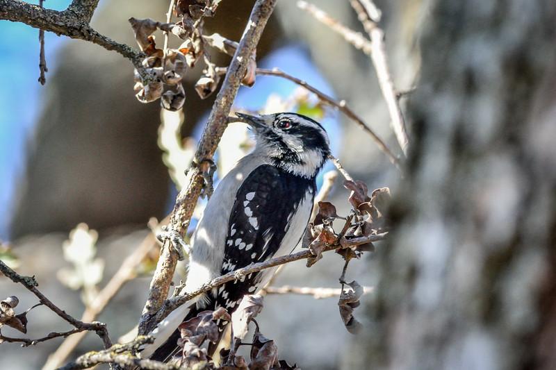Downy Woodpecker Woodpecker