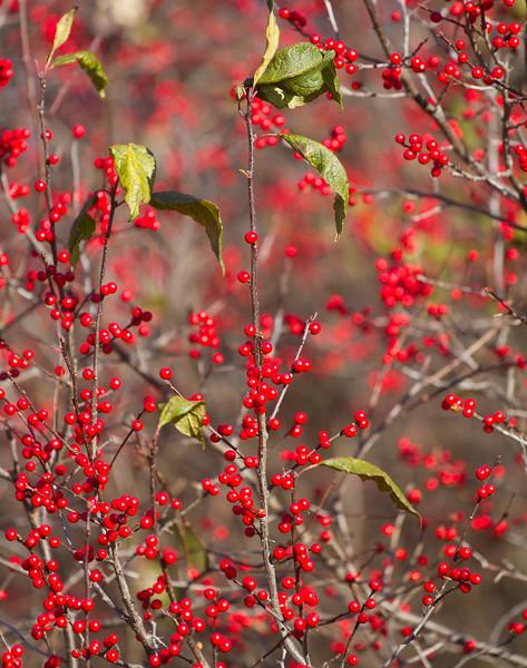 Ilex verticillata Winterberry Nichols Lake Road Sax-Zim Bog MN IMG_4331.jpg