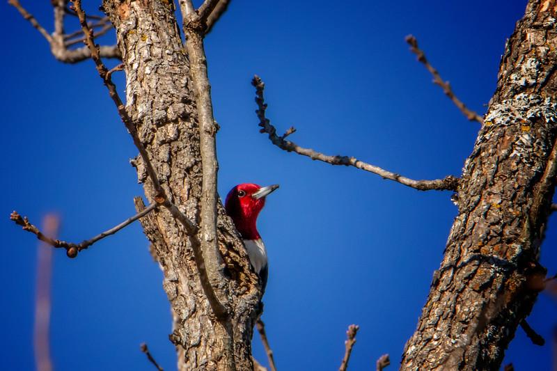 1.20.19 - Prairie Creek State Park: Red-Headed Woodpecker
