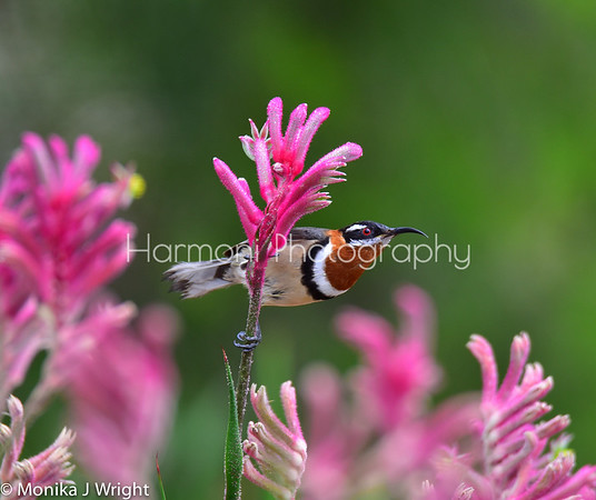Harmoni photography Western Spinebill