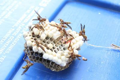 Taffie Hornets