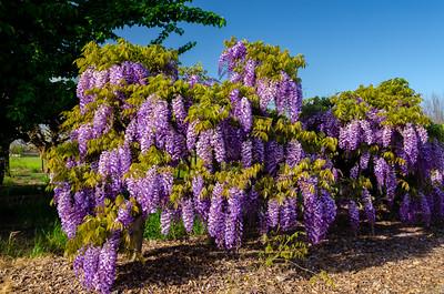 Wisteria sinensis 'Cooke's Purple' - Cooke's Special Purple Wisteria