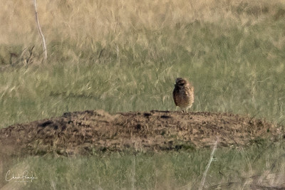 Burrowing Owls 2018