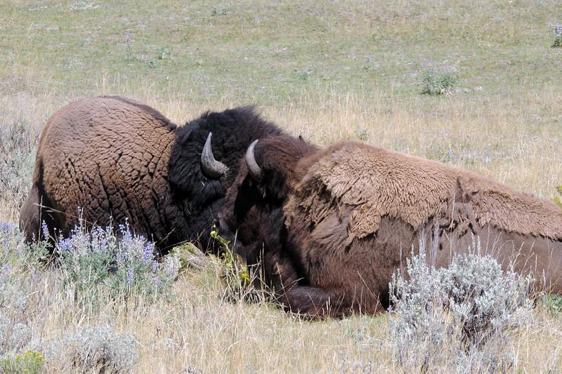 Yellowstone (10).jpg
