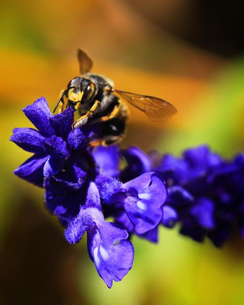 Bee Salvia.jpg