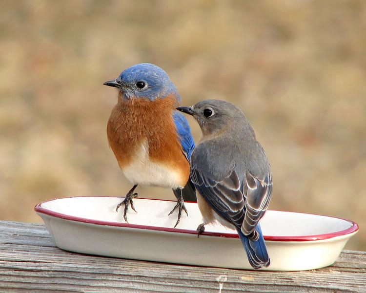 bluebird_0655.jpg