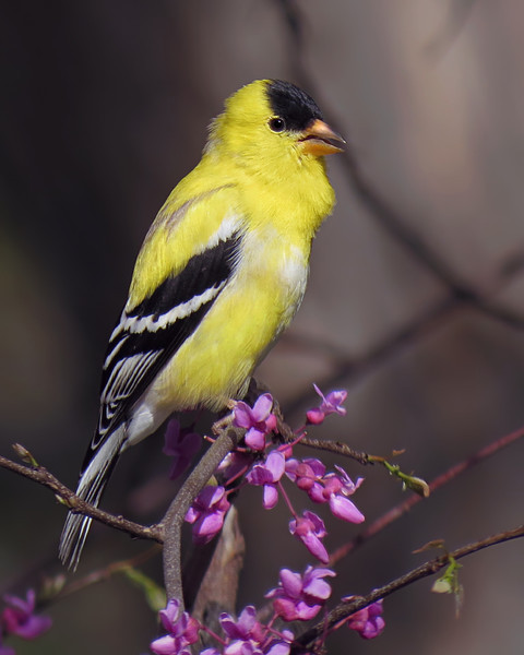 SX50_goldfinch_bit_284.jpg