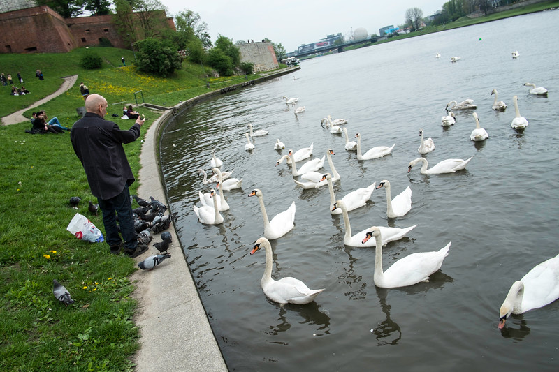 Man feeding swans, Vistula River, Cracow, Poland